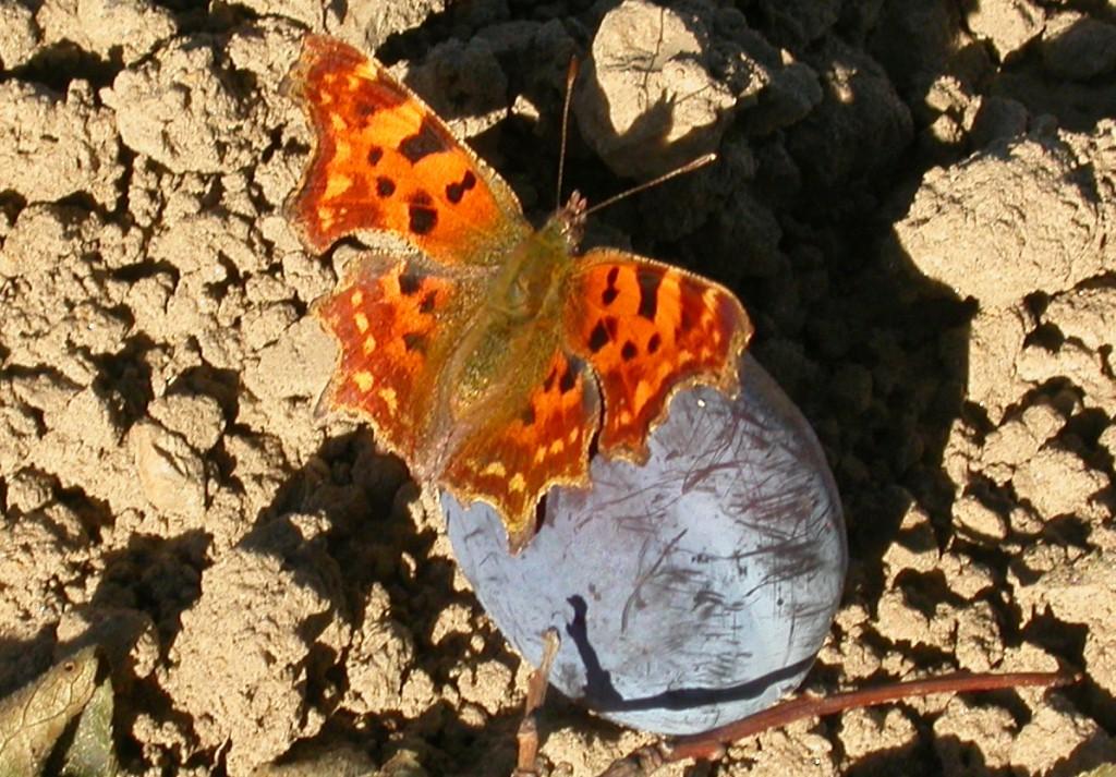 Fallobst bietet vielen Insekten, wie dem C-Falter, Nahrung. Foto: M. Aletsee)