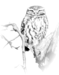 Der Steinkauz (Athene noctua) unsere kleinste heimische Eulenart.