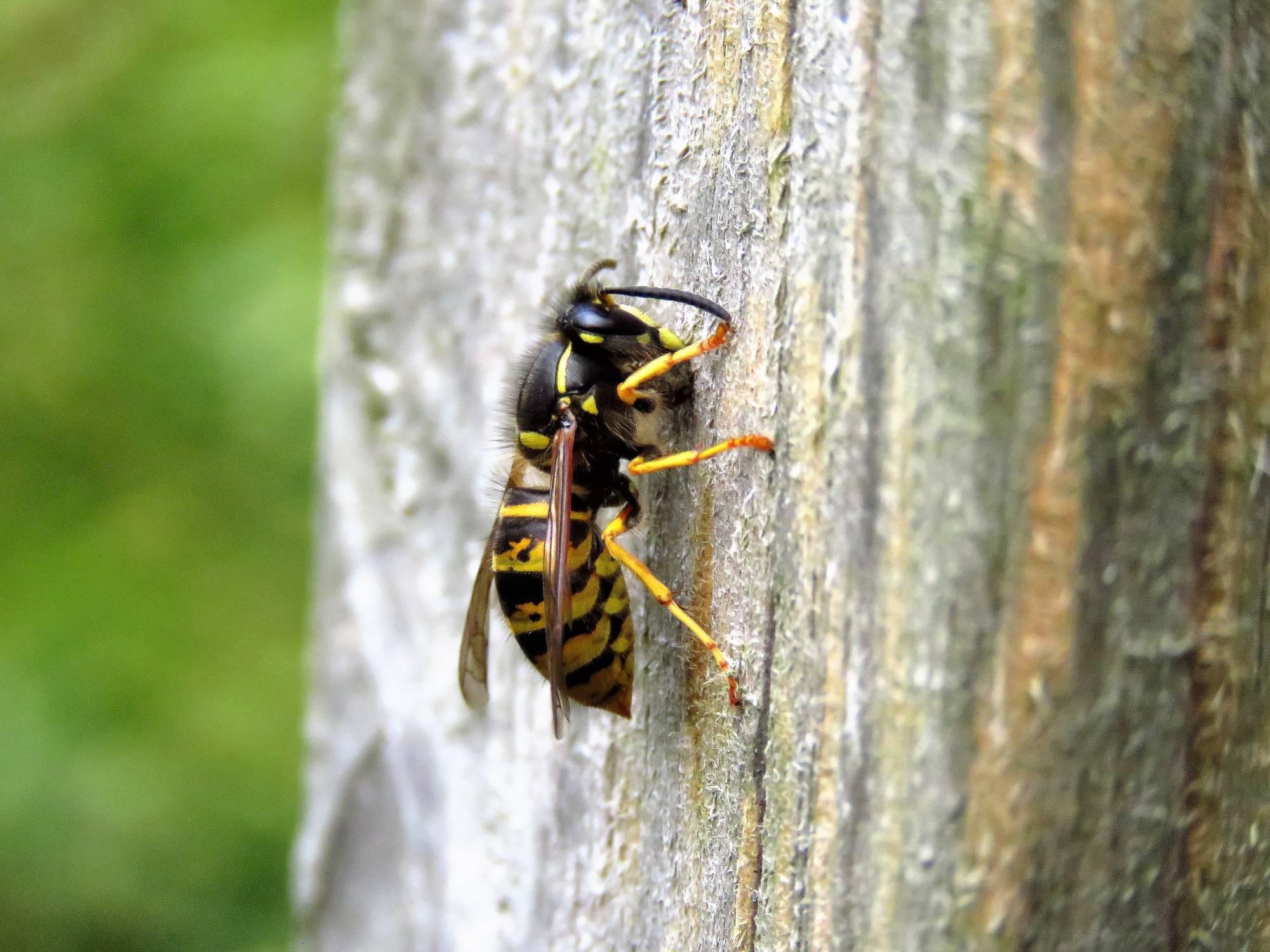 Der Richtige Umgang Mit Wespen Und Hornissen 20 Tipps